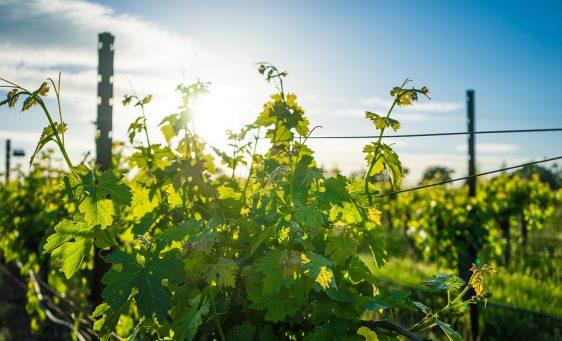 vineyard-1938926_960_720